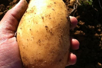Mountain Potatoes