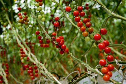 Agromonte, passion for tomato