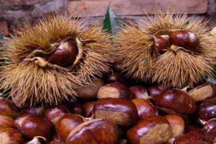 Chestnuts, a year of rebirth